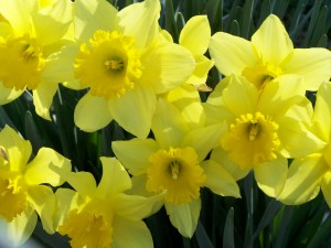daffodil-flowers-photo-daffodil-flower-wallpaper