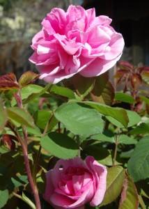 gertude.rose